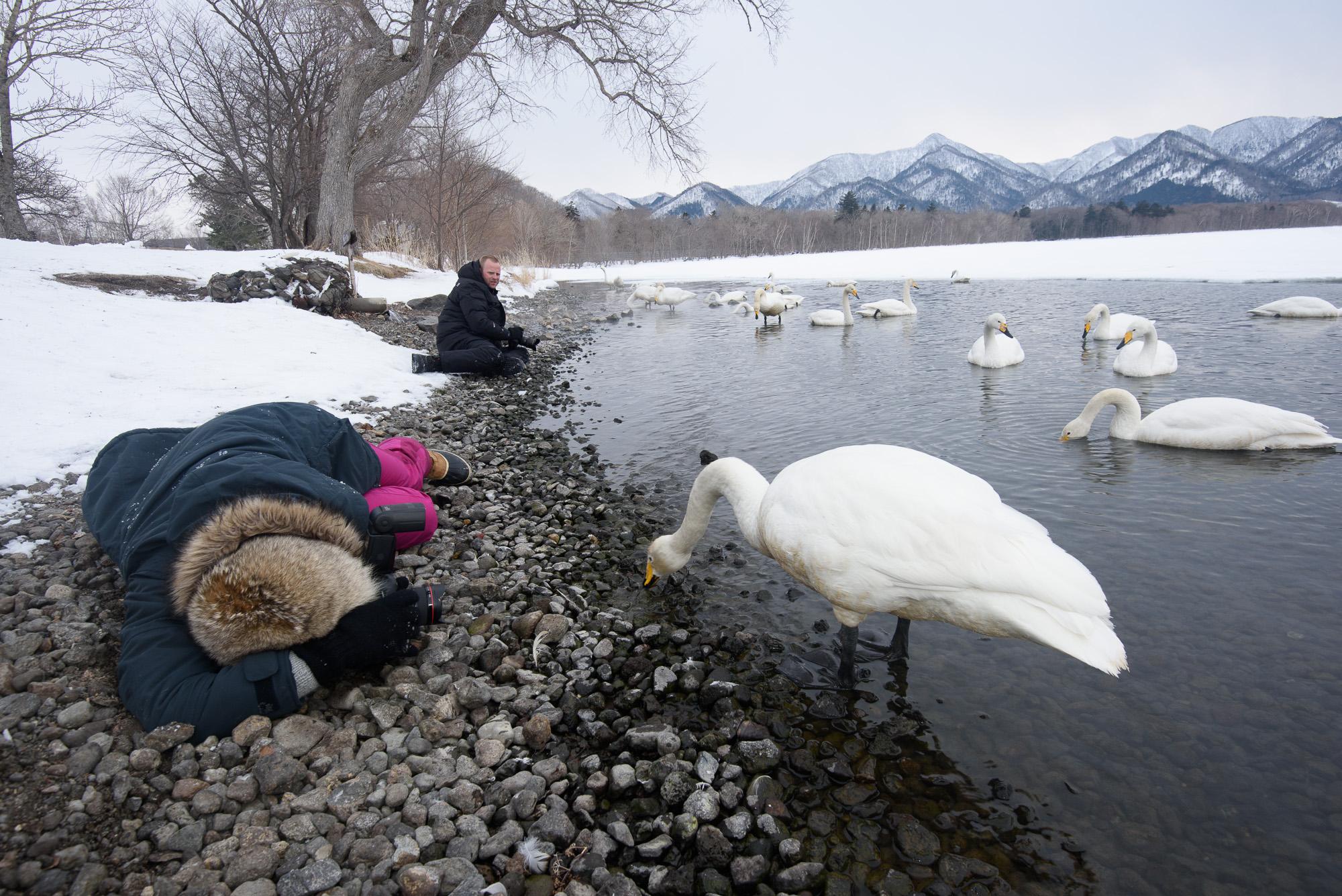 Sångsvanar i Lake Kussharo, Japan. ©Henrik Karlsson.